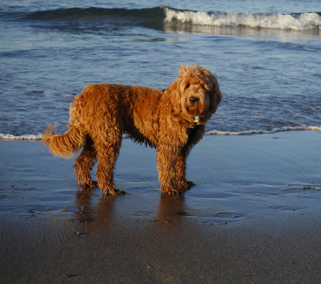 Nestlewood Labradoodles - Where love is packaged in velvety