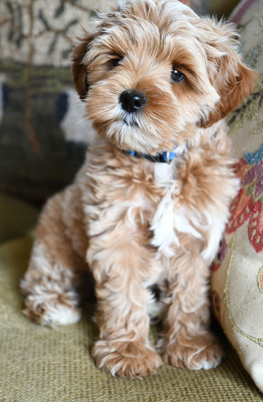 Nestlewood Labradoodles - Where love is packaged in velvety fur and